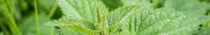 L' ortie (Urtica dioica)