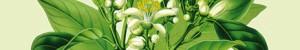 Des plantes qui soignent l'insomnie ..