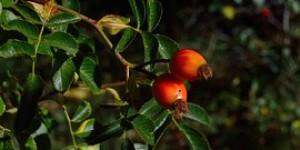 La baie de goji : le fruit de la longévité