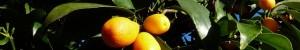 Les 7 bienfaits du kumquat