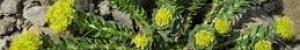 La Rhodiola rosea pour apaiser le stress