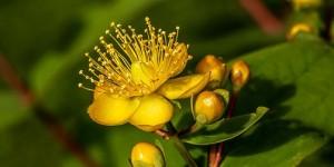 Les plantes qui vous accompagnent à sortir de la dépression