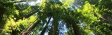 Le Séquoia géant